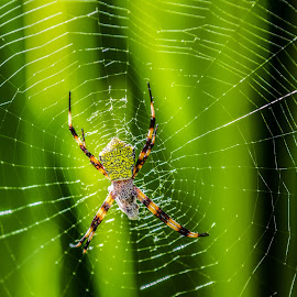 by Corey Rudolph - Nature Up Close Webs ( dinner, webs, green, web, spider )