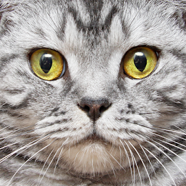 M like Minerva by Mia Ikonen - Animals - Cats Portraits ( focused, finland, symmetric, british shorthair, close-up,  )