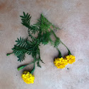 Marigold (Asteraceae - Sun Flower Family)