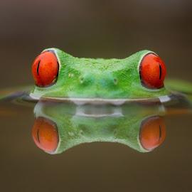 Burning  by Kutub Macro-man - Animals Amphibians ( reflection, macro, red, redeyetreefrog, amphibians, close-up, animal, colorful, mood factory, vibrant, happiness, January, moods, emotions, inspiration )