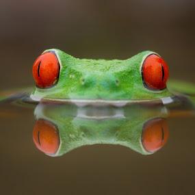 Burning  by Kutub Macro-man - Animals Amphibians ( reflection, moods, colorful, redeyetreefrog, happiness, vibrant, amphibians, close-up, macro, inspiration, red, january, emotions, animal, mood factory )