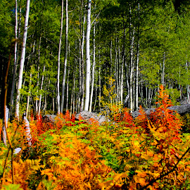 A September Forest by Beverly McGowan - Nature Up Close Trees & Bushes ( rockie mountains, colorful, autumn, fall, forest, aspens )