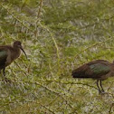 Olive ibises couple