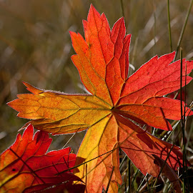 Lost Leaves by Richard Duerksen - Nature Up Close Leaves & Grasses ( yellowstone, autumn, leaves, red rock lakes )