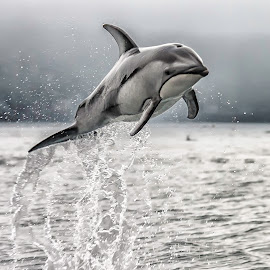 Wild Dolphin by Karen Celella - Animals Other Mammals ( dolphin, water, wild, animals, contests, fish, ocean, vancouver, , black and white, animal )