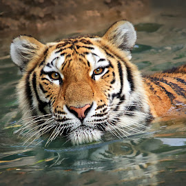 Tiger Swim by Jaki Miller - Animals Lions, Tigers & Big Cats ( water, cat, tiger in water, tiger, wildlife, stripes )