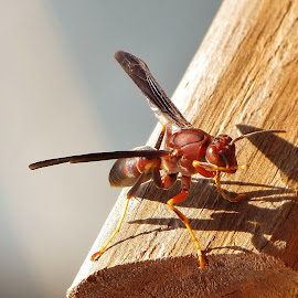 Red and Waspy by Christine Keaton - Animals Insects & Spiders (  )