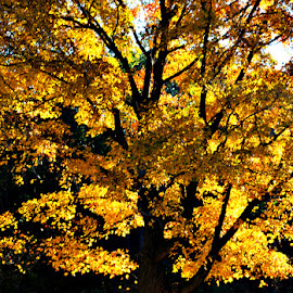 Golden Tree by Chandra Whitfield - Nature Up Close Trees & Bushes ( nature, tree, autumn, fall, leaf, leaves, photography )