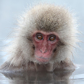Japanese Macaque by Patricia Kearton - Animals Other Mammals ( snow monkey, japan, japanese macaque )
