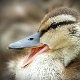 Quack! by Chris Kingdon - Animals Birds ( happy, quack, duck, baby, smile,  )