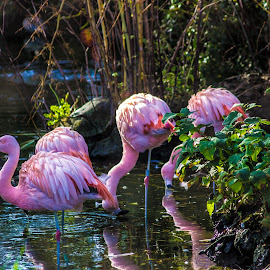 Bathing Flamingos by Dylan Barlow - Novices Only Wildlife ( north wales, colwyn bay, welsh mountain zoo, wales, flamingos, cymru,  )
