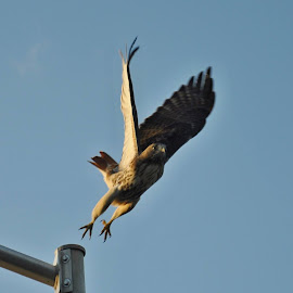 Geronimo! by Whitney Bowley - Novices Only Wildlife ( fly, wings, legs, jump, hawk )