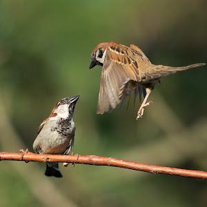 passer-sparrow-105.jpg
