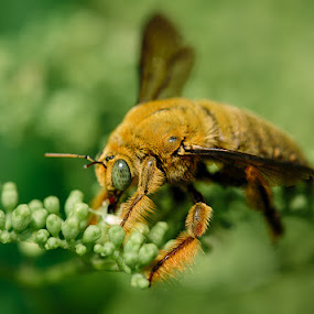 Bee by Rah Juan - Animals Insects & Spiders ( macro, nature, bee, rah juan, insect, bali natural photoworks,  )