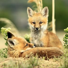 Just Chillin by Roxie Crouch - Animals Other Mammals ( pups, fox, fox kits, utah, den, mammal,  )