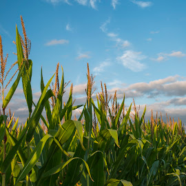 Minnesota Corn by Bill Kuhn - Landscapes Prairies, Meadows & Fields ( clouds, field, farm, sky, stalk, ears, corn )