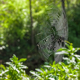 Spider web by Cesare Morganti - Nature Up Close Webs ( nature, green, nature up close, web, spider web )