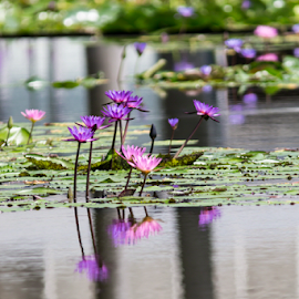 LILY`S IN THE GARDEN by Frank Photography - Nature Up Close Gardens & Produce ( reflection, waterlily, purple, pink, lake, singapore )