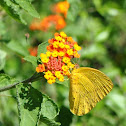 Giant Orange Sulphur