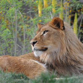 Lion by Dawn Hoehn Hagler - Animals Lions, Tigers & Big Cats ( big cat, phoenix zoo, lion, zoo, phoenix )