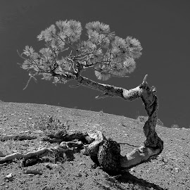 Tree in the desert by Tyrell Heaton - Black & White Objects & Still Life ( desert, tree )