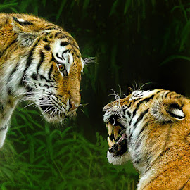Stare Down by John Larson - Animals Lions, Tigers & Big Cats