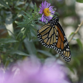 Monarchs On Asters by Howard Mattix - Animals Insects & Spiders ( animals, macro, nature up close, insects, butterfies, wild flowers,  )