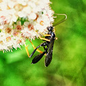 unknown wasp