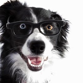 An intelligent dog by Christine Guay - Animals - Dogs Portraits ( intelligent, nerd, border collie, glasses, dog )