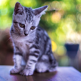 by Vincent Lim - Animals - Cats Kittens ( kitten, cat, colorful, pet, bokeh,  )