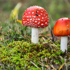 2 red amanitas by Irena Gedgaudiene - Nature Up Close Mushrooms & Fungi ( fungi, red, amanita muscaria, nature, colorful, color, fall, spotty, mushrooms,  )
