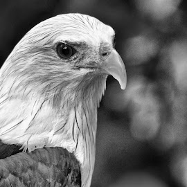 Bird of Prey by Curly Yanni - Animals Birds ( bird, eagle, prey,  )