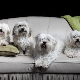 Family Portrait by Sue Niven - Animals - Dogs Portraits ( studio, dogs, pets, family portrait, group )