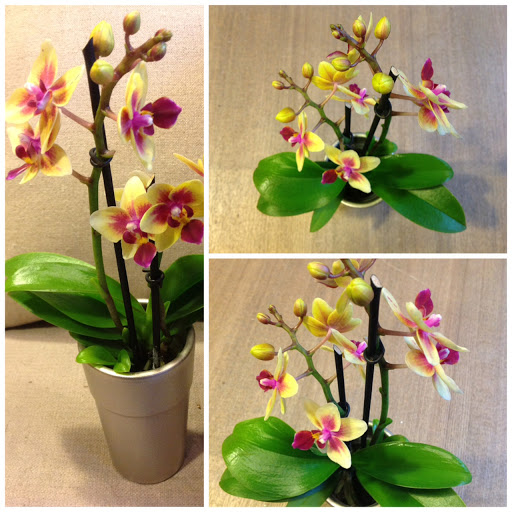 Dendrobium Phalaenopsis additionally Yellow Orchid With Spotted Center likewise Apple Trees Choose furthermore Rhus Typhina Tiger Eyes 3l further Diy Fabriquer Un Kokedama. on mini orchid care
