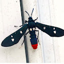 Polka dotted wasp moth (from oleander caterpillar)