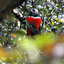 Montain trogon, Trogon mexicano