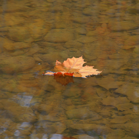 Solitude by Marsha Biller - Nature Up Close Leaves & Grasses ( water, orange, water bottom, single, floating, leaf )