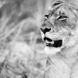 Tasting the Air by Kim Stockley - Animals Lions, Tigers & Big Cats ( black and white, lioness, safari, south africa, beauty in nature,  )
