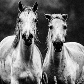 Mother and Daughter by Hylton Herd - Animals Horses (  )