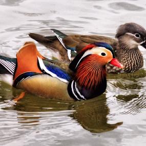 Mandarin Pair by Roxie Crouch - Animals Birds ( fowl, pair, mandarin, ducks, water birds, male female, birds,  )