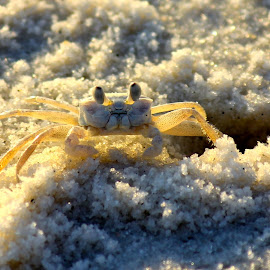 Ghost crab on Walton County, Florida beach by Gregory Miller - Animals Sea Creatures ( beach, ghost crab, crab,  )