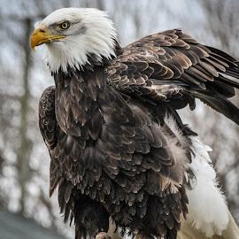 Ruffling feathers by Garry Chisholm - Animals Birds ( bird, garry chisholm, eagle, nature, wildlife, prey, raptor, bald )