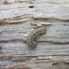 Army Cutworm Caterpillar