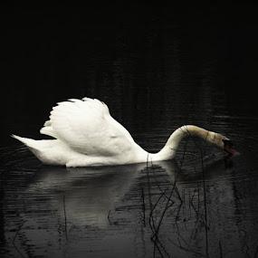 Enjoy on Lake by Nat Bolfan-Stosic - Animals Birds ( snow, swan, lake, enjoy, beauty )