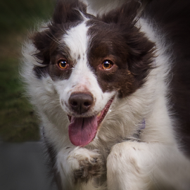 Intent by Gary Beresford - Animals - Dogs Running ( border collie, working dog, australia, chase, trial, patch )