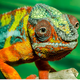 Chamelion by Lisa Coletto - Animals Reptiles ( lizard, reptile, chameleon )