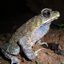 Common Asian Toad