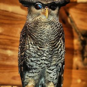 OWL by Nyoto Nugroho Poospo - Animals Birds