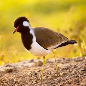 bird by Nirav Raval - Animals Birds ( bird, alone bird, sparrow )