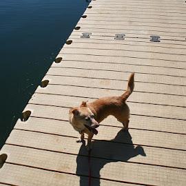 At the Lake by Waynette  Townsend - Animals - Dogs Portraits ( pattern, corgi, summer, lake, dog, sun, dock,  )